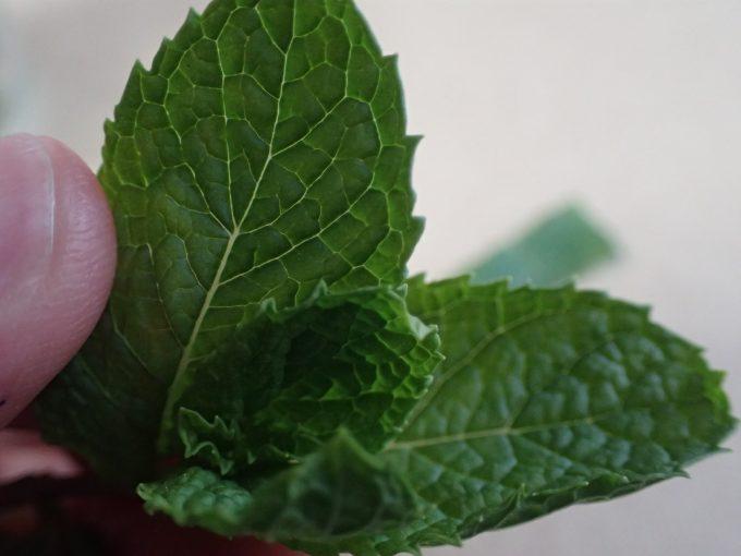 プランター鉢に植えたミントの葉をカットして蚊よけに試す
