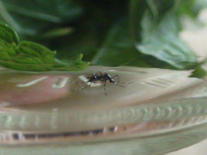 ミントの葉の下に隠れてジッと動かない害虫ヒトスジシマカ