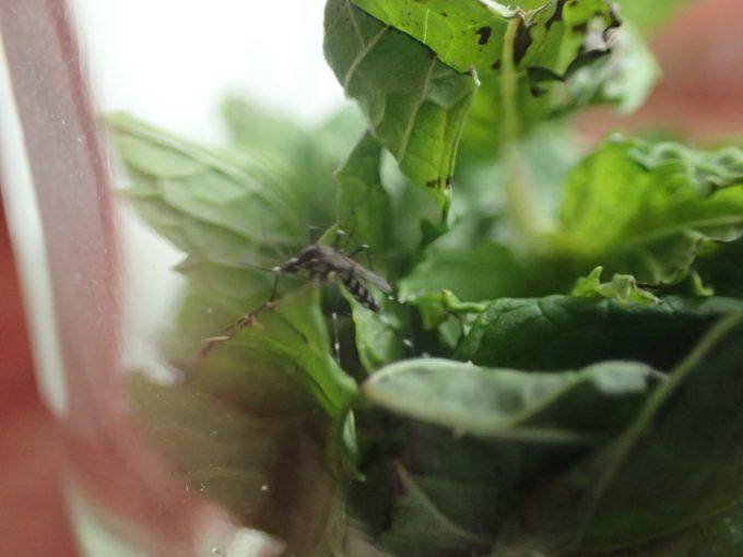 ハーブのミントで蚊を退治する実験は失敗に終わった