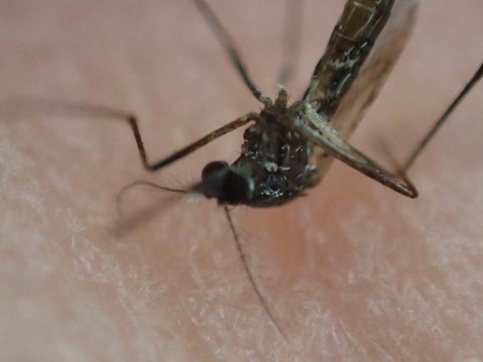 ミント(ハッカ)の香りで害虫ヤブ蚊を退治することはできなかった。