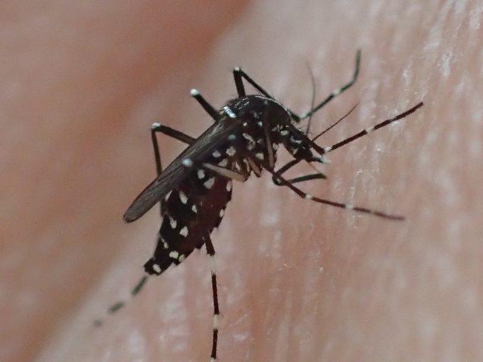 手の平から血を吸う害虫ヤブ蚊(ヒトスジシマカ)