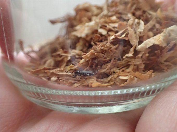 蚊を閉じ込めた容器内に煙草の葉を投入!