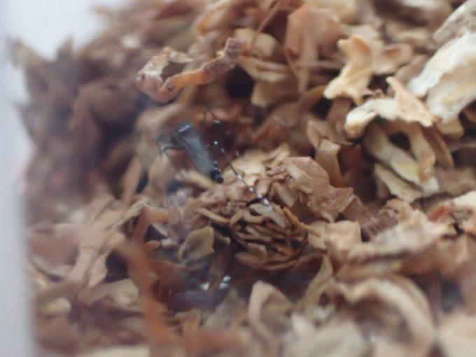 嫌がったり苦しんだりする様子はなく平然とタバコの葉の上を歩きまわるヤブ蚊