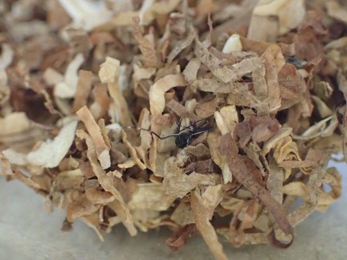 大量の煙草(タバコ)の葉に埋もれて死んでいたヤブ蚊