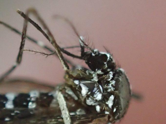 安らかな寝顔で天へ召された恐ろしき昆虫の蚊