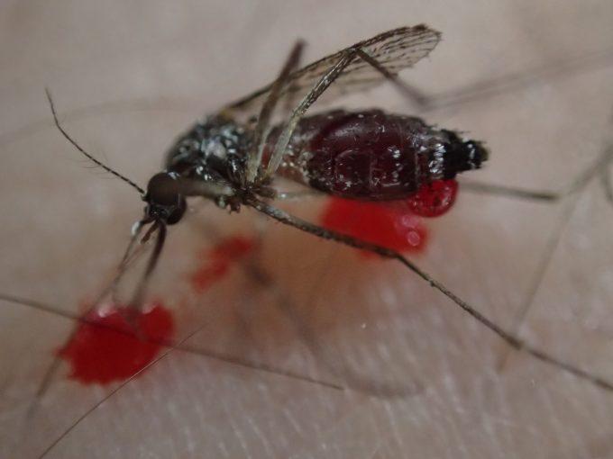 害虫ヤブ蚊(ヒトスジシマカ)が血を吐いて?倒れているけど全く気づかなかった・・・(汗)