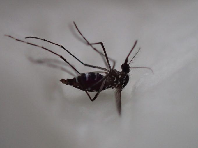 """焼酎""""白霧島""""の匂い?香り?の効果で死んでしまった害虫の蚊"""