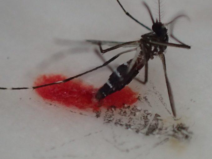 焼酎に浸ったティッシュペーパーの上で吸った血液が漏れて死んだヤブ蚊