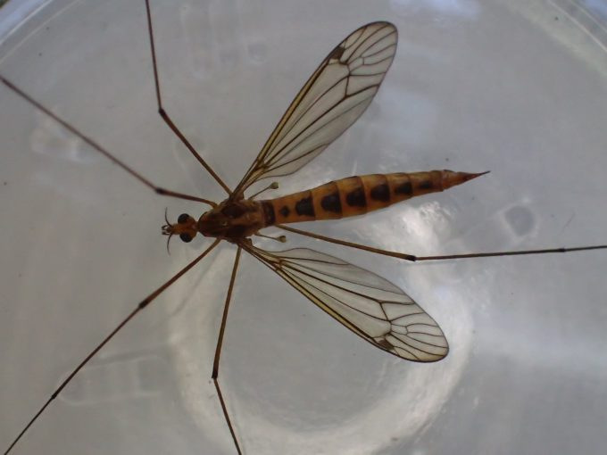 超デカイ巨大な蚊!?刺さず血も吸わないガガンボ(大蚊)を捕獲した