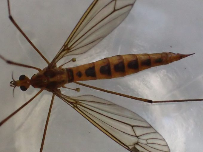 黄色い腹部、背中に模様が特徴のガガンボ(大蚊)の撮影写真・画像