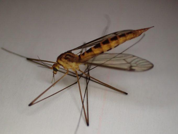 体長約1.5cm、足を含めると2センチ以上の見た目が不気味な昆虫