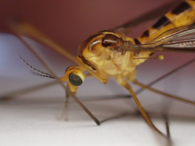 頭部・顔の拡大ズーム写真を見ると、まさしく巨大化した蚊にソックリ