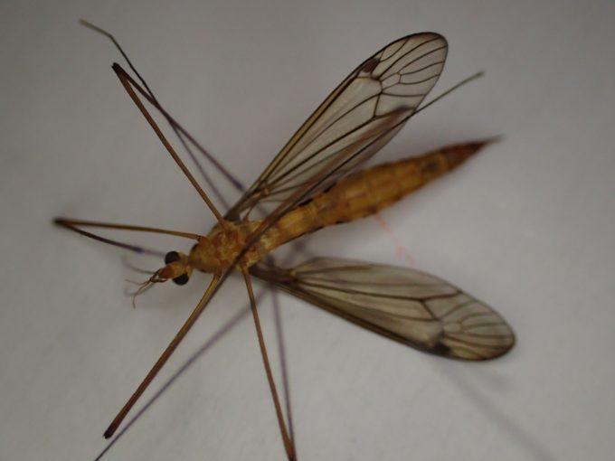 死後は他の虫と同じように足が折れ曲がり固まってひっくり返る