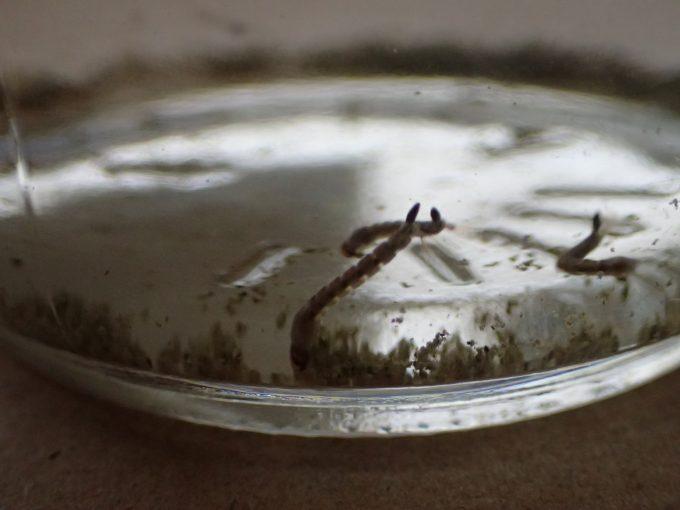 雨水の底に沈んだチリ・ゴミを漁り食事をするボウフラ
