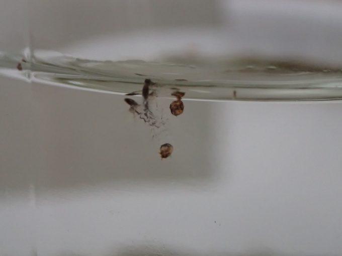 水面に浮かぶボウフラが脱皮した透明な殻・皮