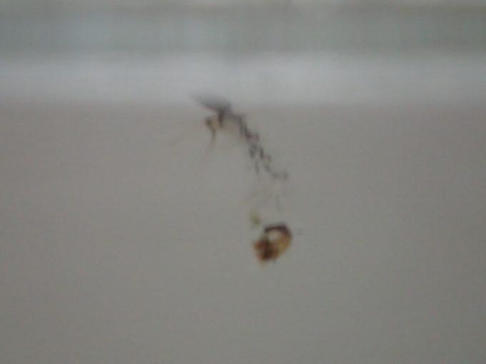 翌日、水中に透明なボウフラが浮かんでいる!と驚いたら脱皮した後の殻だった