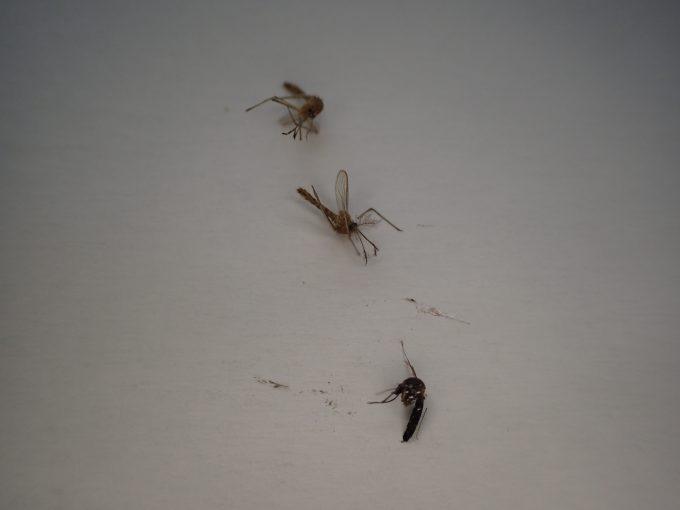 害虫のアカイエカ・ヤブ蚊(ヒトスジシマカ)の屍骸