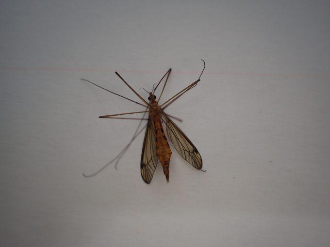 見た目は怖いけど人を刺さず血も吸わない昆虫ガガンボ(大蚊)の屍骸