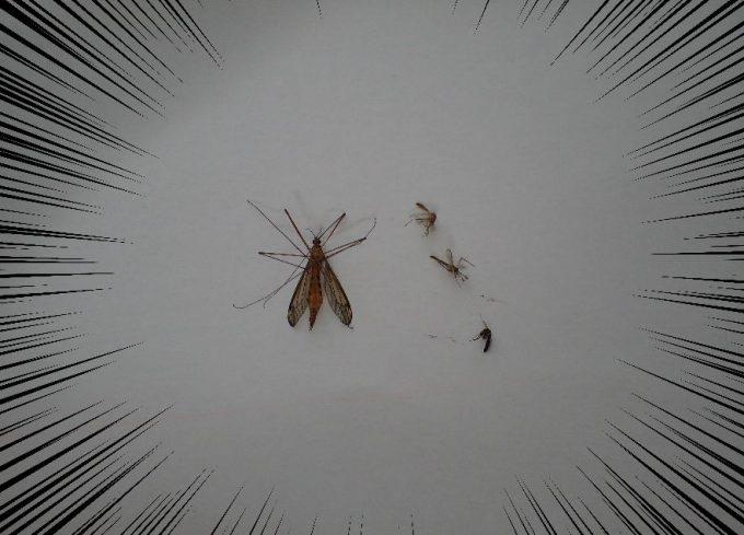 普段目にする害虫の蚊と、ガガンボ(大蚊)を並べてサイズを比較した図