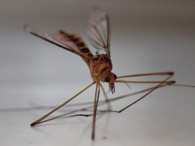 威厳と風格と圧倒的な存在感を備えた巨大化した蚊の化身ガガンボ!