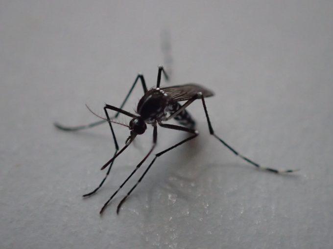 蚊よけ匂袋(にほひ袋)の効果で弱った害虫ヤブ蚊(ヒトスジシマカ)