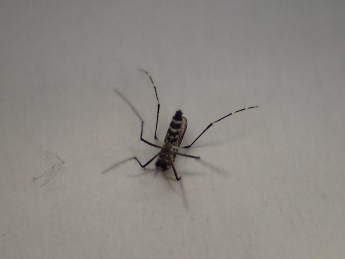 なんとか飛び立とうとした瞬間にひっくり返った蚊