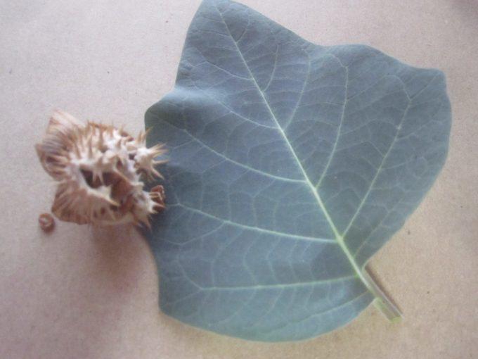 オーバードーズをもたらす可能性が高い危険な植物ケチョウセンアサガオの葉と種子