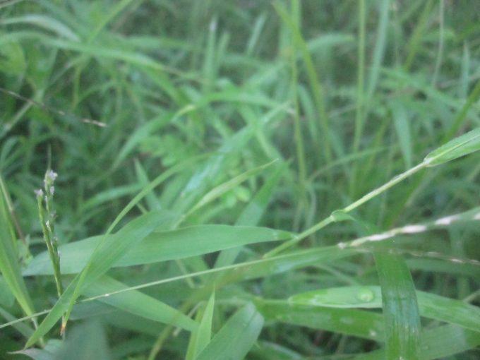 熱湯を浴びて青臭い匂いが周囲に立ち込めた雑草の写真・画像