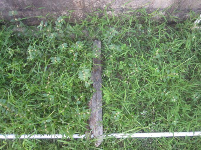 左が熱湯除草、右が海水除草を試す場所を区切って分かりやすくしてみた