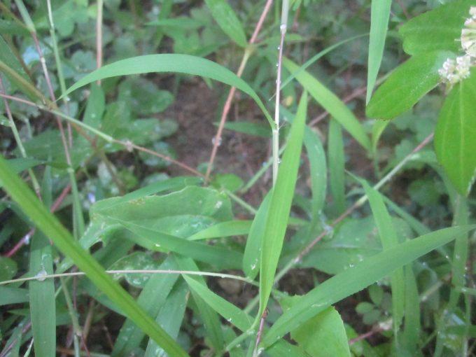 熱湯で枯れた場所の雑草はすぐに生えてくるのか、長期間の生育を抑えられるのか