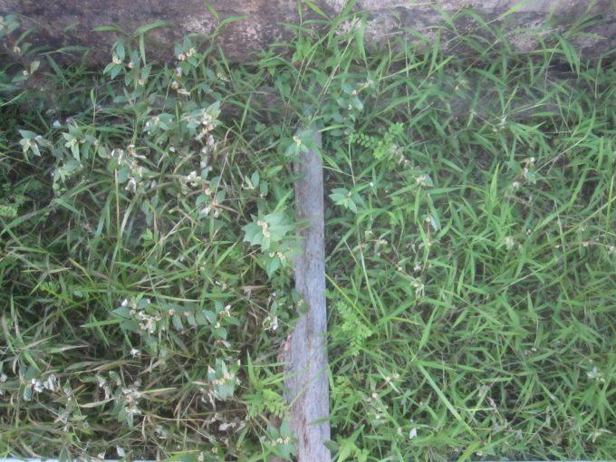 熱湯除草と海水除草を開始して翌日の様子を撮影した画像