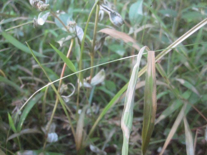 熱湯除草を試している最中の雑草は効果テキメン。すぐに枯れだした。
