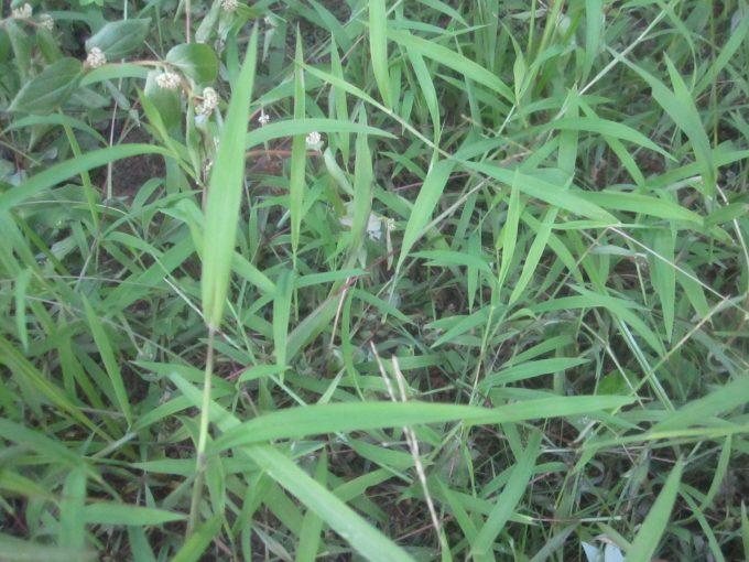 海水除草を試した雑草の様子を撮影した写真