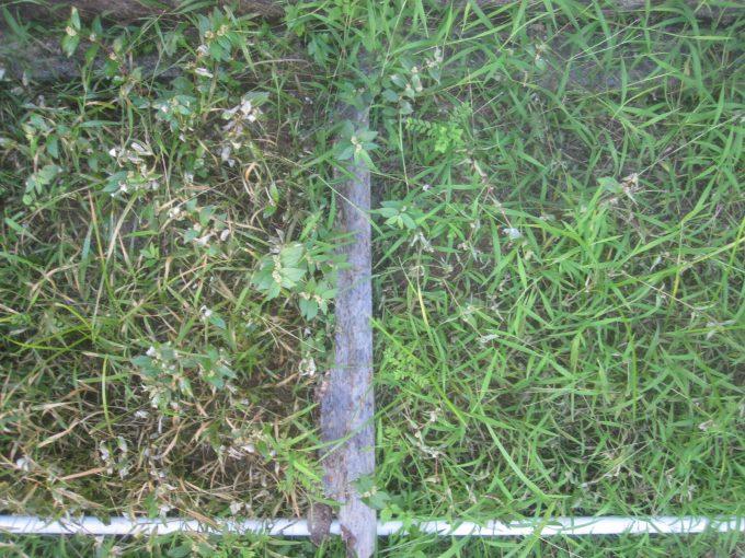 熱湯除草・海水除草を開始して2日後の様子