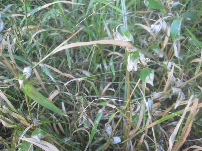 熱湯除草を試している雑草が枯れ始めた