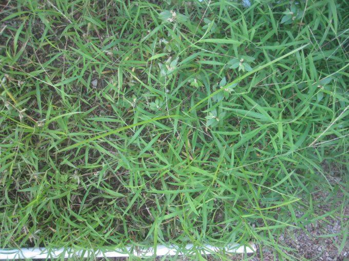 海水除草を試した箇所と何もしていない箇所の雑草の違い比較写真