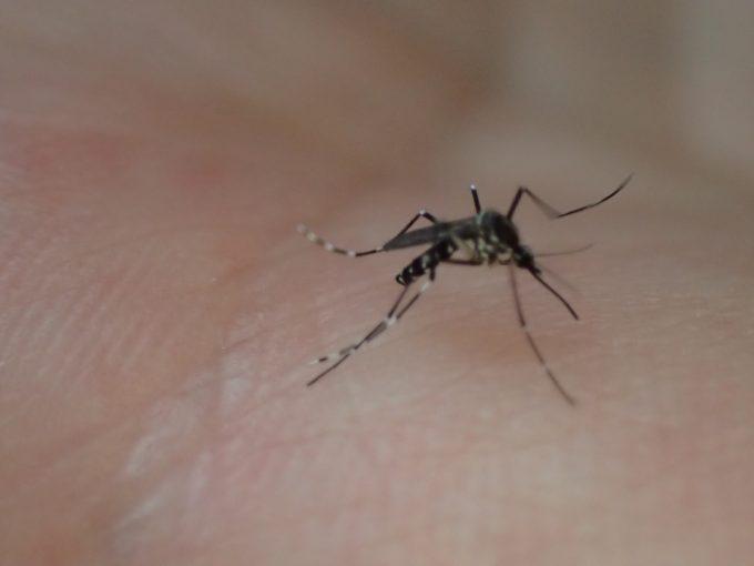 人間の手の上を歩き吸血場所を探す害虫ヒトスジシマカ
