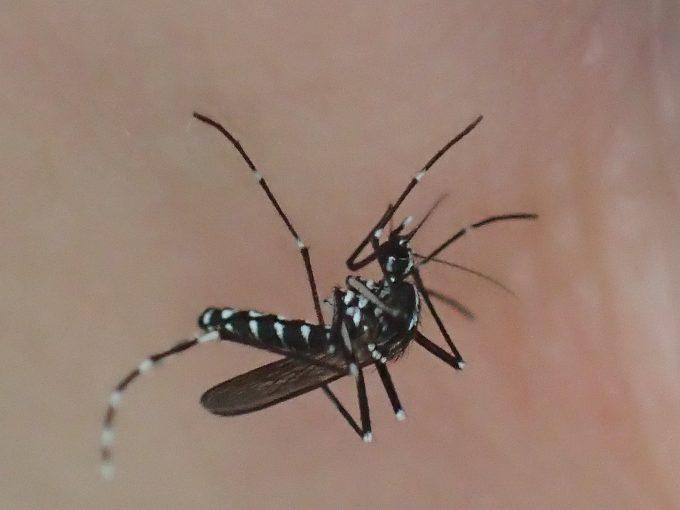 全身を震わせながら懸命にヒトの血を吸う害虫ヤブ蚊