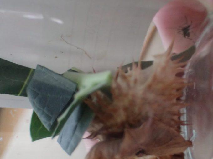 予想に反してヤブ蚊がケチョウセンアサガオの葉やタネを避けて逃げている!?