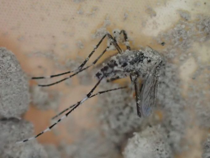 蚊取り線香の燃えカス灰にまみれて動けなくなった害虫ヤブ蚊(ヒトスジシマカ)