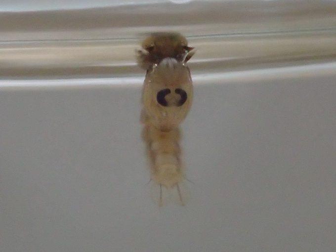 蛹(サナギ)の状態になると、水面でプカプカ浮かぶ時間が長くなる