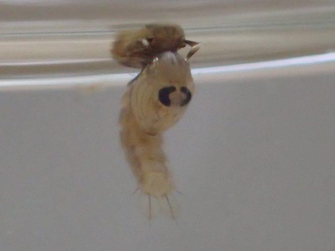 """遂に最終形態である羽を持った成虫""""蚊""""への羽化を間近に控え体全体が黒ずんでくる"""