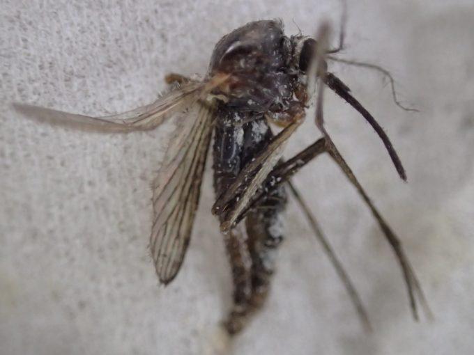 体長が約1センチの大きなサイズの害虫トウゴウヤブカ