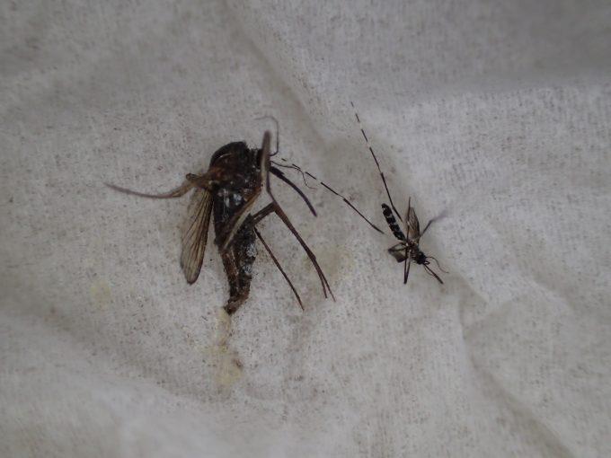 ヤブ蚊と比べると、サイズ・大きさは倍以上も違うほど巨大なトウゴウヤブカ