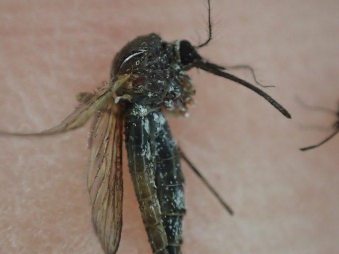 化物・モンスターの蚊という異名が付いても不思議じゃないほどの不気味さ