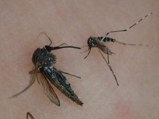 害虫トウゴウヤブカとヤブ蚊(ヒトスジシマカ)のサイズを比較してみた図