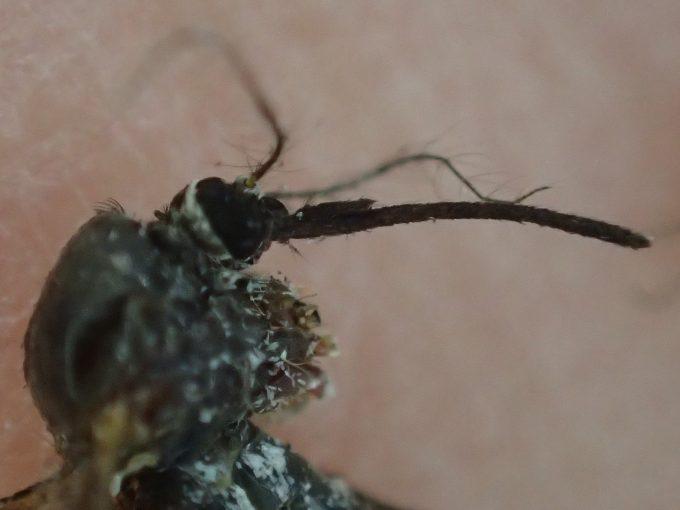 黒く太くて長い口針を備えたトウゴウヤブカの接写・ズーム写真