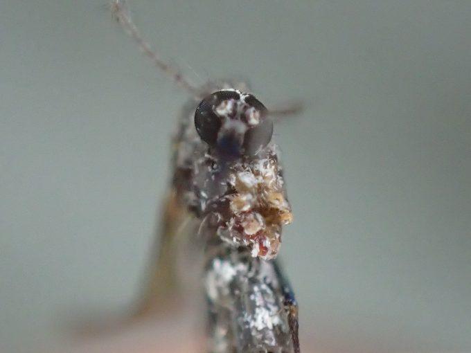 トウゴウヤブカを、OLYMPUS STYLUS TG-4 Toughの顕微鏡ズームで撮影した画像