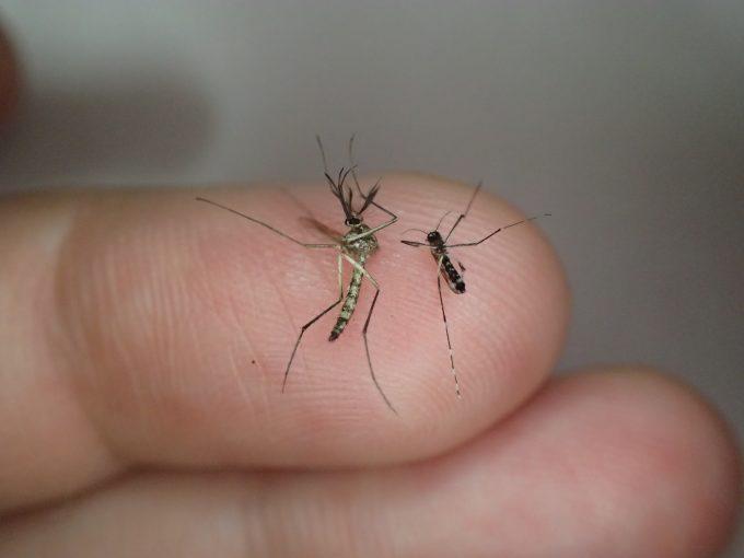 梅雨明け、台風通過後は大量の蚊が血を吸いに襲いに来るから注意!