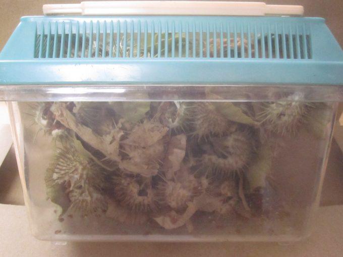 ブログのネタ用に虫カゴに種子を集めてみた図